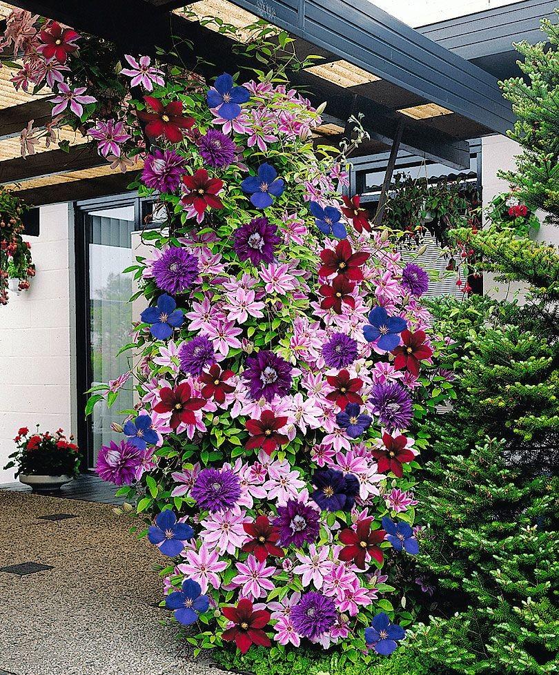 Клематисы цветы
